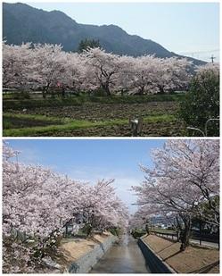 リビングから見える桜