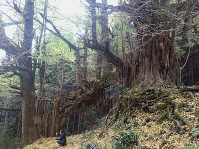 樹齢1300年の木